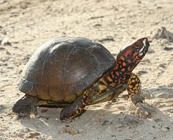 3-Toed Box Turtle